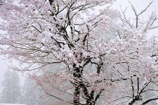 雪桜!寒さの残る春にオススメのビール